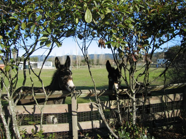 Sonoma Donkeys taken by Kelley Eling, Marin County Realtor
