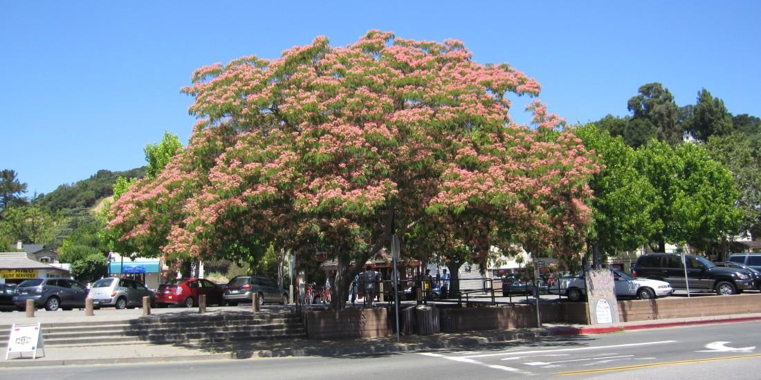 Jacaranda in downtown Fairfax by Kelley Eling, Marin County Realtor