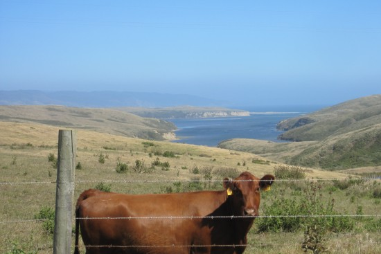 Cow In A Field Overlooking Drake's Bay In Inverness, by Kelley Eling, Marin County Realtor