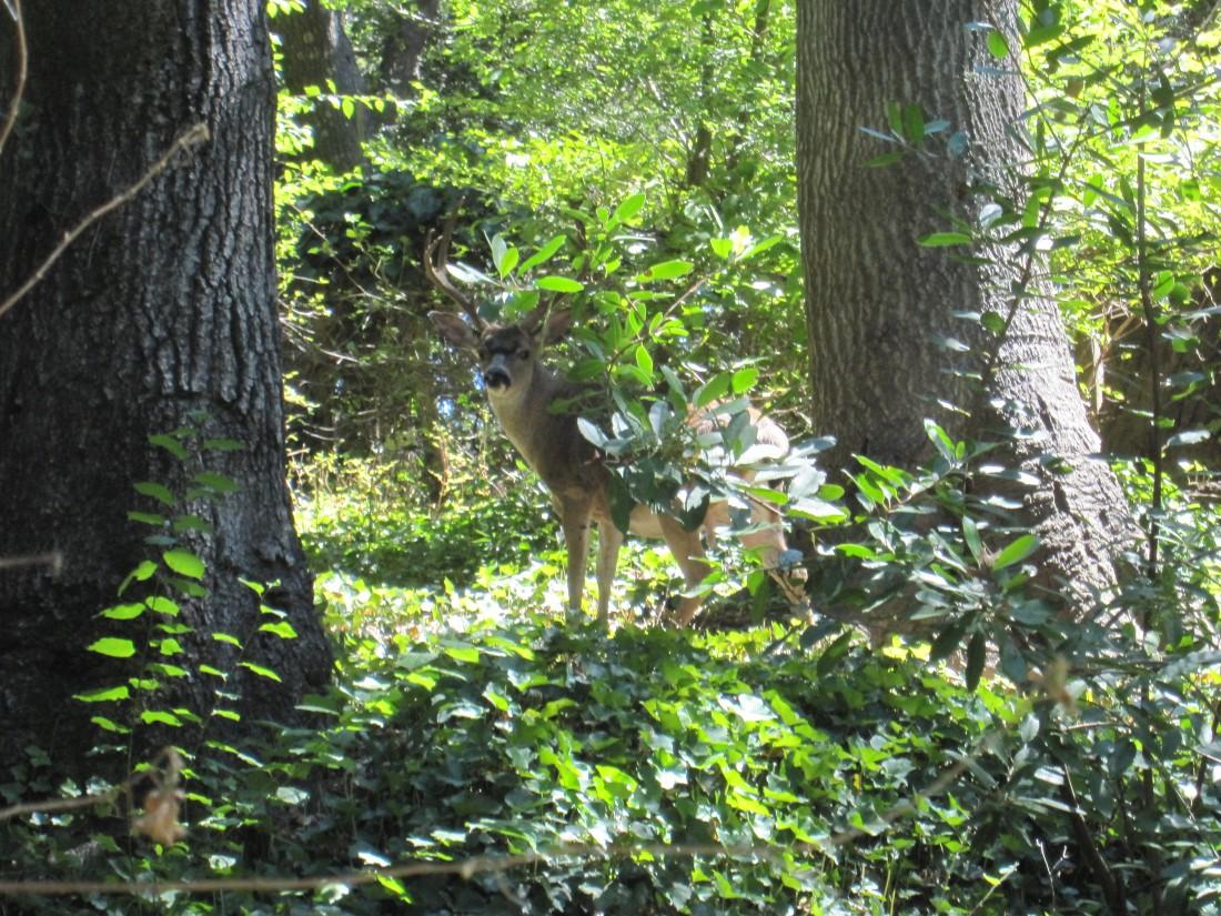 A deer in Fairfax by Kelley Eling, Marin County Realtor