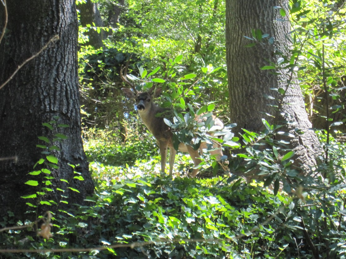 A deer in Fairfax by Kelley Eling, Marin County Realtor
