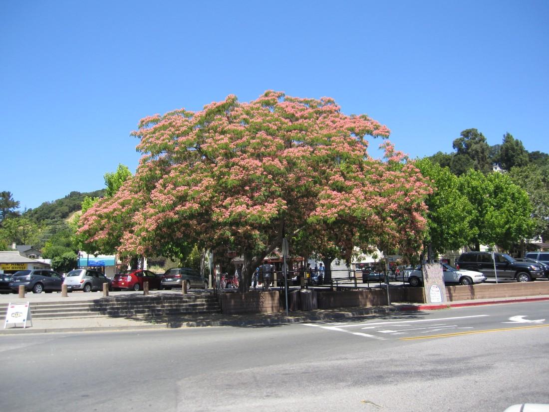 Jacaranda Tree in downtown Fairfax by Kelley Eling, Marin County Realtor