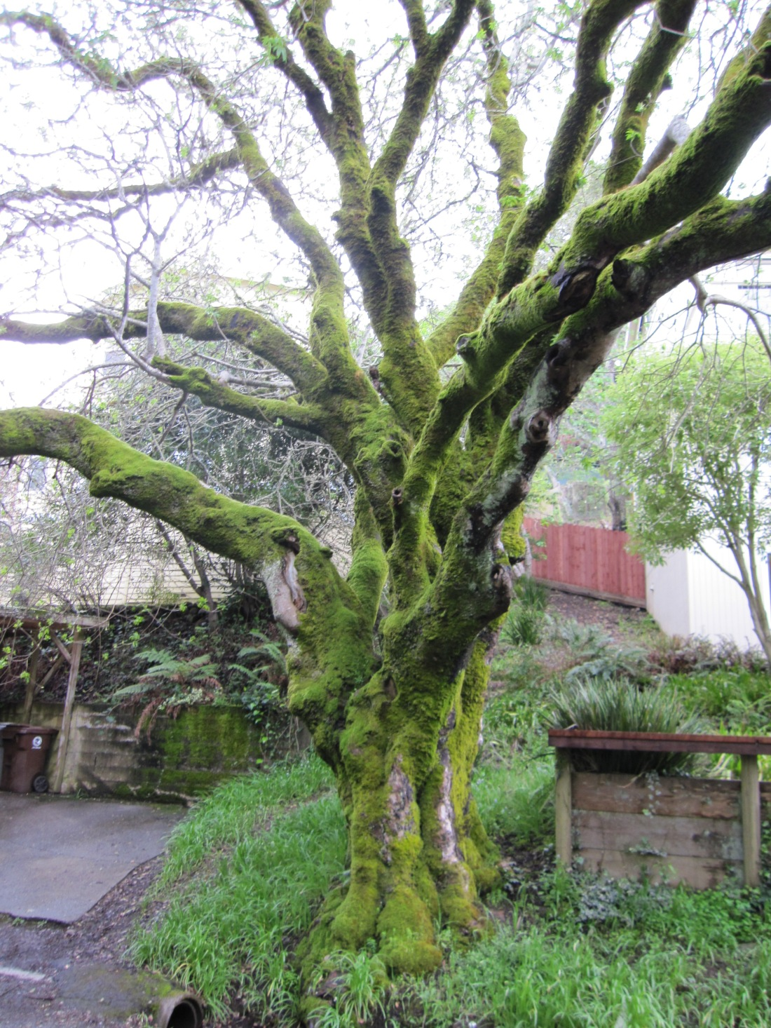 Moss Covered Tree in Mill Valley by Kelley Eling, Marin County Realtor