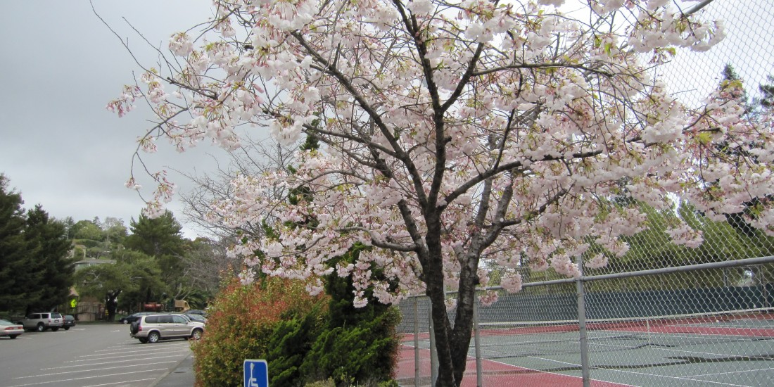 Spring Blossoms Near The Tennis Courts in Corte Madera Town Park by Kelley Eling, Marin County Realtor