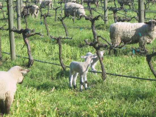 Woolly Weeders at Cline Cellars in Sonoma by Kelley Eling, Marin County Realtor