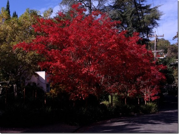 Fall Color in San Anselmo by Kelley Eling, Marin County Realtor