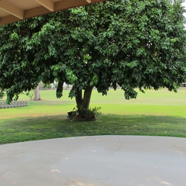 Covered patio in the shade of the grapefruit tree.