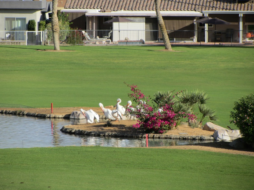 pelicans-at-palm-desert-country-club-by-kelley-eling-realtor